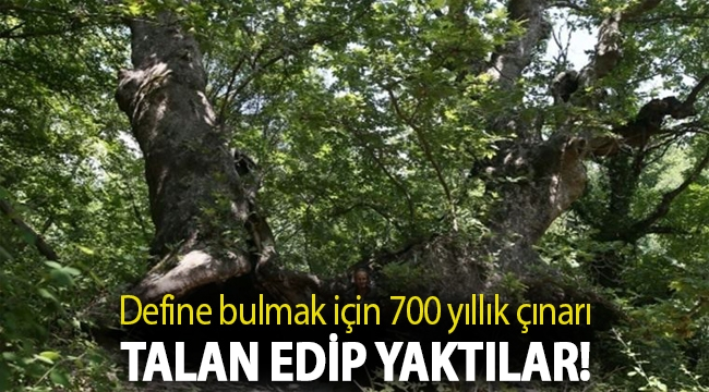 Define bulmak için 700 yıllık çınarı talan edip yaktılar!