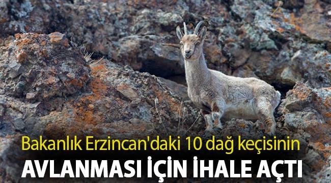 Bakanlık bu sefer de Erzincan'daki 10 dağ keçisinin avlanması için ihale açtı