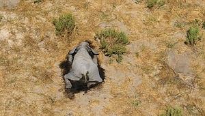 Bostvana'da 300'den fazla filin gizemli ölümünün nedeni açıklandı