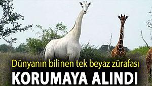 Dünyanın bilinen tek beyaz zürafası korumaya alındı