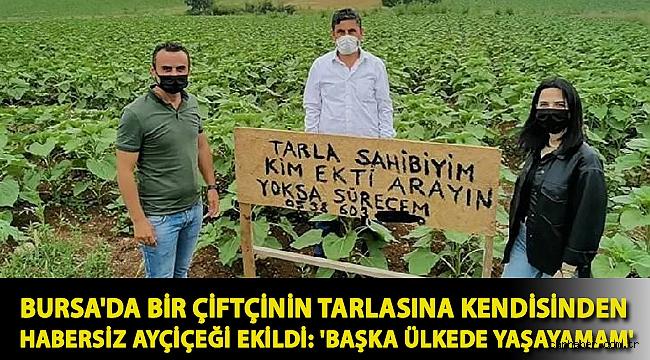 Bursa'da bir çiftçinin tarlasına kendisinden habersiz ayçiçeği ekildi: 'Başka ülkede yaşayamam'