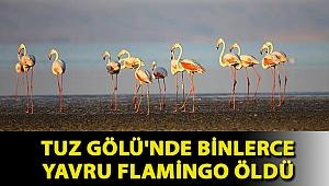 Tuz Gölü'nde binlerce yavru flamingo öldü